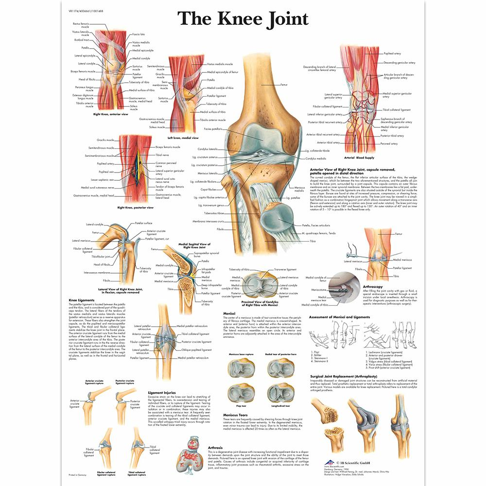 Knee Joint Chart Laminated 20
