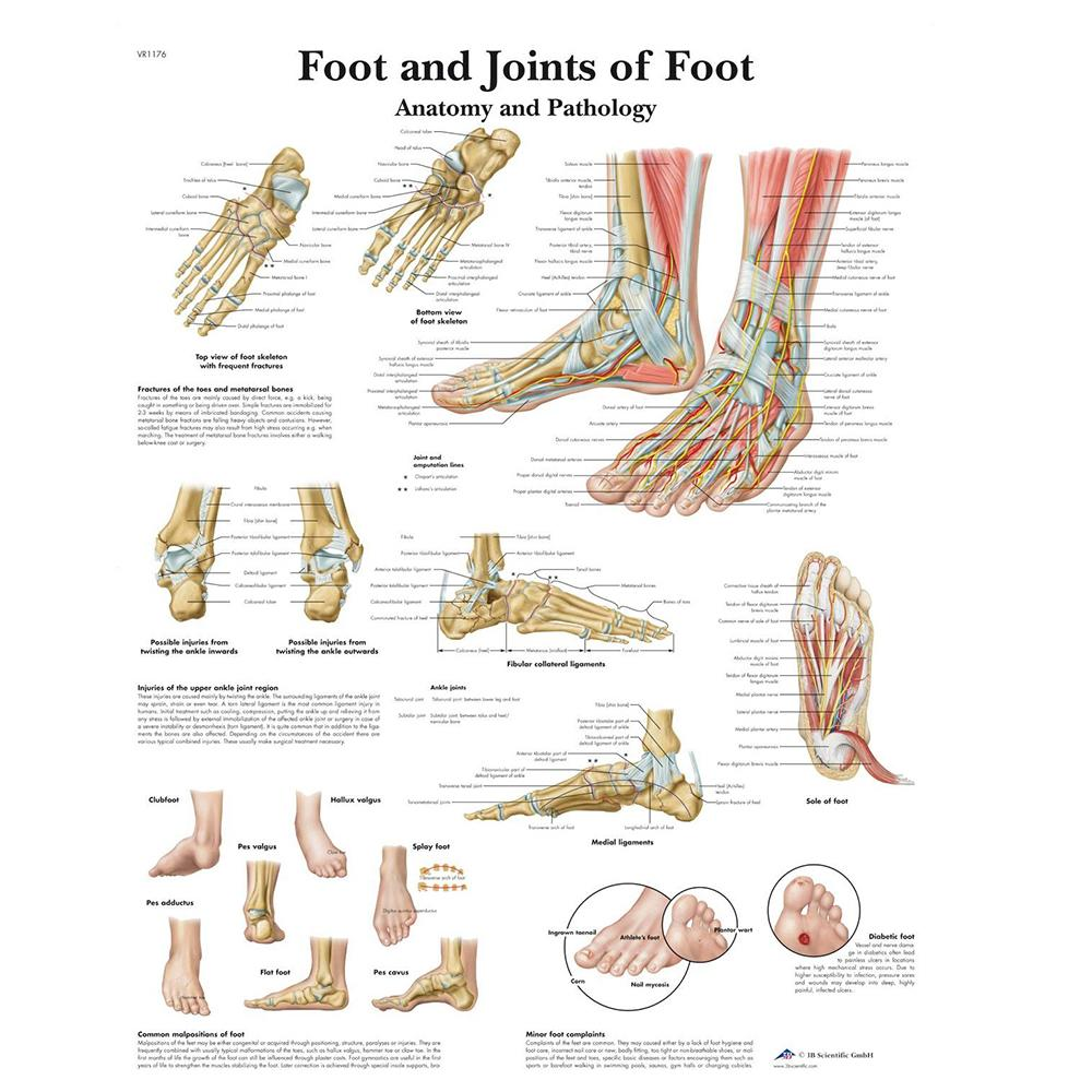 Foot and Joints of Foot Chart Laminated Chart 20