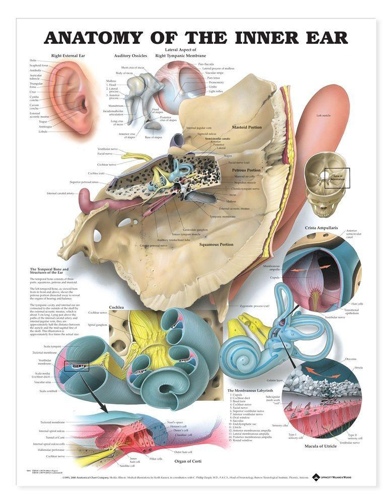 Anatomy Of The Inner Ear Chart