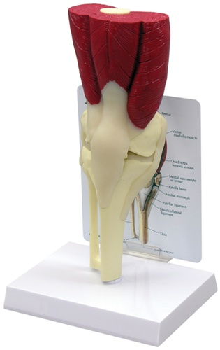 GPI Anatomicals® Muscled Knee