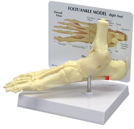 GPI Anatomicals® Foot/Ankle Plantar Faciitis