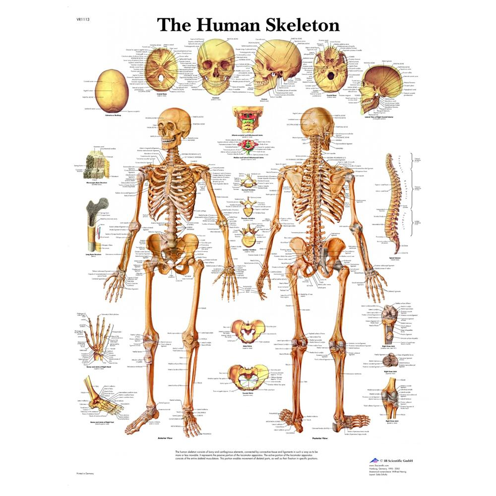 Human Skeleton Laminated Chart 20
